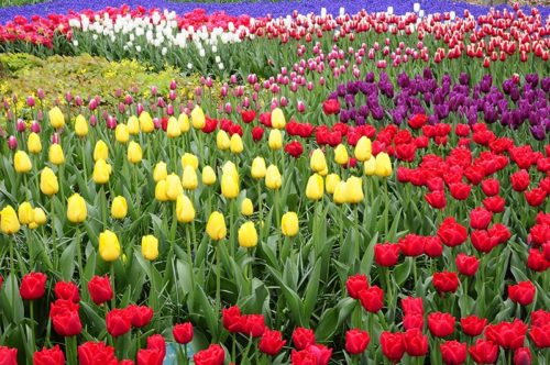 AmaWaterways Tulip Tour - Amsterdam Tulips