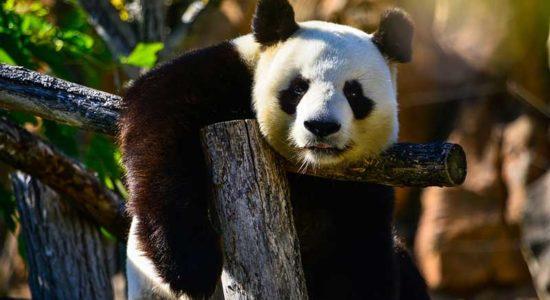 Century Solos Captivating China Panda Bear