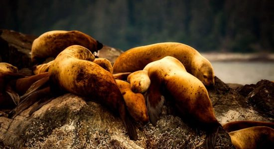 Windstar Alaskan Splendors - Sea Lions in Alaska