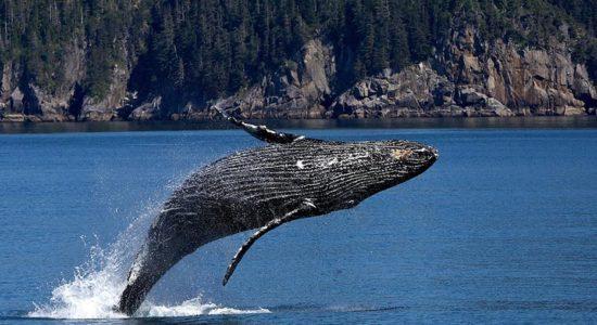 Windstar Alaskan Splendors - Whale Breach