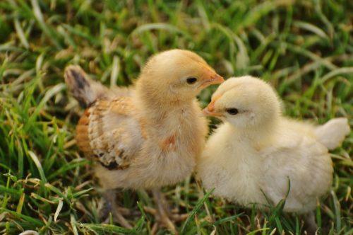 easter-chicks