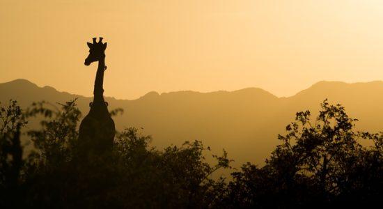 giraffe-2233366_640