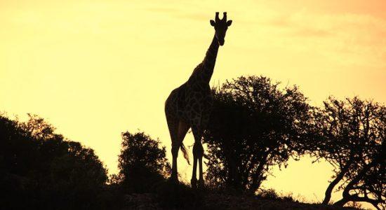 giraffe-776228_640